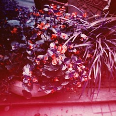 (Fran_Traveller) Tags: flowers film square asia taiwan snap squareformat taichung iphoneography instagramapp uploaded:by=instagram lomochrome