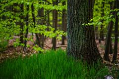 Liege Woodlands - Close ups (Falcdragon) Tags: trees forest woodland lens woods focus belgium minolta alt sony hills mc manual alpha liege a7 liège rokkor sarttilman walloonregion ilce7