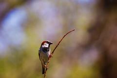 Just a sparrow. (GoodApollo_66) Tags: canon sparrow