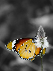 Butterfly | Selective coloring ([s e l v i n]) Tags: india flower color nature butterfly frames colours dof hires prints wallpapers gujarat butterflyonflower selectivecoloring saputara selvin d7100wallpapers