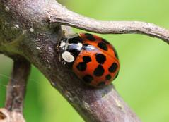 Harmonia Axyridis (Mike Serigrapher) Tags: lady beetle ladybird harlequin coleoptera insecta harmonia axyridis