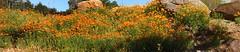P4288372_P4288378 (caligula1995) Tags: panorama californiapoppy 2014 ebparksok doncastroregional