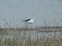 black winged stilt (ramridgedave) Tags: park wild black bird beds country bedfordshire winged priory stilt wader