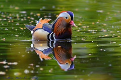 Male Mandarin Duck. (spw6156 - Over 5,089,379 Views) Tags: copyright male duck steve  iso mandarin waterhouse 1250cropped
