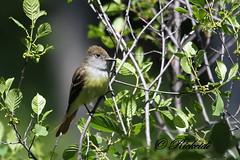 Tyran Huppé - Great Crested Flycatcher (ricketdi) Tags: ngc greatcrestedflycatcher myiarchuscrinitus avianexcellence tyranhuppé