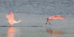 The Chase (craig goettsch - out shooting) Tags: bird nature nikon wildlife avian roseatespoonbill d610 dingdarlingnwr usnwr