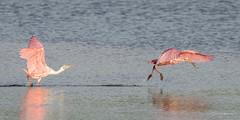The Chase (craig goettsch) Tags: bird nature nikon wildlife avian roseatespoonbill d610 dingdarlingnwr usnwr