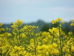 kwitnący rzepak (ela_s) Tags: maj wiosna rzepak kopieckościuszki tło