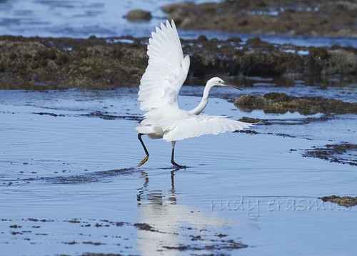 Little Egrett chasing  after  fish_2364