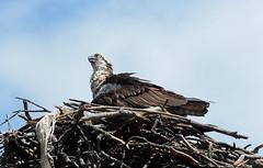 Mama Osprey (hpai