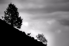 l'isard (bw) (Ferran.) Tags: mountain nature animals catalonia catalunya pyrenees muntanya pirineus ripolles chamois rebeco isard muntanyes queralbs rupicapra siluetes fonthomemort