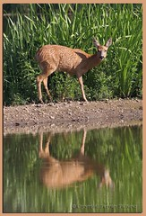 Roe Deer (gladysperrier@btinternet.com) Tags: lake rabbit bunny nature canon reflections eos spring wildlife deer pastures berkshire roe 70d