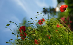 Oxford poppies form my garden (jlfaurie) Tags: