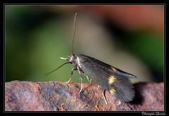 Borkhausenia minutella (cquintin) Tags: lepidoptera arthropoda oecophoridae macroinsectes borkhausenia minutella