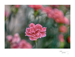 Carnation (heritagefutures) Tags: camera paris project germany lens design nikon antique bad 85mm mount projection f adapter series simulator soden cinematic brass d800 hesse focussing m39 cindo petzval 625mm