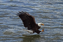 Strike One (littlebiddle) Tags: fish nature birds canon river washington eagle wildlife aves raptor 7d yakimariver