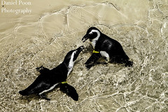African Penguins (Dpoon91) Tags: nature animals zoo penguin