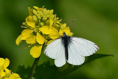 Green Veined White (stonefaction) Tags: nature butterfly scotland fife wildlife moth insects crail faved