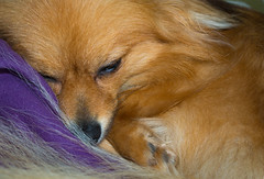 Sleepy Boo the Pomeranian. (CWhatPhotos) Tags: pictures camera portrait dog pet brown cute field animal digital that lens four photography pom foto dof with image artistic pics dwarf sleep sandy picture pic olympus images boo have sleepy photographs photograph fotos tired ez colored pomeranian coloured which spitz depth contain omd thirds pompom m43 em10 esystem zwergspitz 1442mm cwhatphotos thelittledoglaughedportraits dwarfspitz ez1442mm