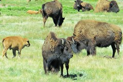 At the Bison Ranch (Patricia Henschen) Tags: colorado southpark calf bison parkcounty tarryall parkcountycolorado tarryallcreek tarryallvalley