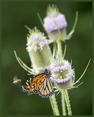 The Little Guy Won! (Carolyn Lehrke) Tags: usa nature fauna weeds flora bees butterflies insects explore wv monarch wildflowers commonteasel nikond3200 greenbriercounty ronceverte