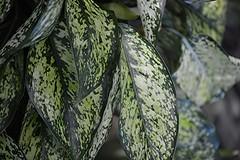 Houseplants thrive in Everett's outdoor garden (jungle mama) Tags: wheelchair everett southflorida tropicalgarden aglaonema