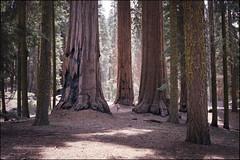amerika (finnegan_eins) Tags: california usa sequoianationalpark fujisuperia200 40mm14 voigtländerbessar3a