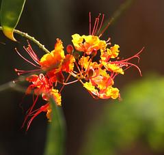 2014 07 14 Arizona Sonora Desert Museum 011 (GaryS42) Tags: arizona flower tucson arizonasonoradesertmuseum tucsonarizona asdm