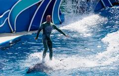 dolphin surfing (dolanh) Tags: sandiego dolphins seaworld dolphinshow dolphinstadium