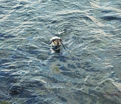 Ett sista dopp innan hemresan (Charly Hund) Tags: sea summer dog water swimming charly vatten hav sommar skrgrden badar aspan dansksvensk grdshund
