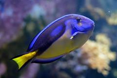Black, Blue and Yellow (pringle-guy) Tags: fish london animals nikon sealife londonaquarium