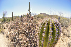 Cacti Family (BongoInc) Tags: arizona cactus cacti landscape tucson fisheye sonorandesert cactusgarden 105mmfisheye