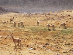 Vicuñas (Sandro 11) Tags: chile mountains fauna dessert wildlife atacama andes desierto silvestre llamas montañas alpacas vicuñas salvaje
