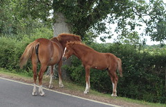 New forest (Elizabeth Story) Tags: road new horses tree forest ponies grassland lyndhurst foal