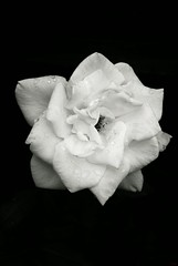 White Rose (photo_secessionist) Tags: bw flower macro wet rose digital blackwhite pentax bn km explored smcf250mmlens