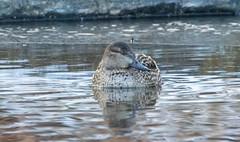 7K8A2666 (rpealit) Tags: scenery wildlife nature east hatchery alumni field hackettstown greenwinged teal duck bird