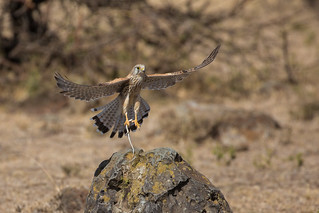 Lesser Kestrel with prize