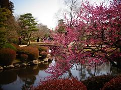 Ume 梅 (Shutter Chimp: Im back!) Tags: japan 日本 水戸市 水戸 水戸仙波公園 公園 池 梅 反射 mito senba park tree ume reflection pond 木 blossom
