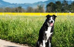 Bonny on a Spring Day 10/52/2017 (smile KB) Tags: 52weeksfordogs bonny mustard spring dog