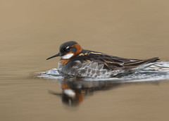 Red necked Phalarope (Mike Nesbitt) Tags: