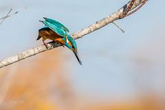 Kingfisher (dave_poth) Tags: