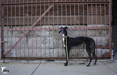 The Lines of Flattery (houndstooth4) Tags: dogs greyhound flattery 1152 52weeksfordogs