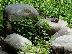 Little Rock (Steve Taylor (Photography)) Tags: littlerock boulder grey green stone rock newzealand nz southisland canterbury christchurch plant flora foliage weeds willowbankchristchurch