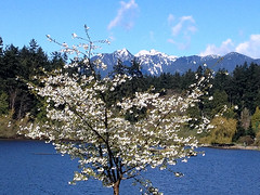 "Magnolias and Mountains (FernShade) Tags: vancouver britishcolumbia canada westcoast pacificnorthwest stanleypark lostlagoon stellatamagnolia magnolia snowcappedmountains mountains scenery scenic nature ""urbannature"" springtime"
