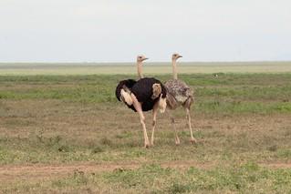 IMG_5039a Ostrich  (Struthio camelus massaicus)  (m. & f.) - Ndutu, Tanzania - GPS #389