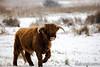 20170211-IMG_2613 (SGEOS@EARTH) Tags: schotse hooglander highland cattle scottish oerossen wildlife nature outdoor observer canon konikpaarden wilde paarden konik polish