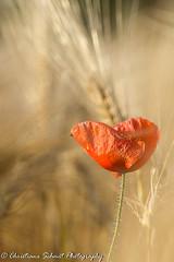 Perdus dans les blés ... (Christiane Schmit) Tags: coquelicots proxi
