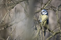 Cinciarella (fabiokappa82) Tags: cincierella bird birdwatching parcodelticino ticino ticinoriver canon canon80d canon100400 villareale cassolnovo italia