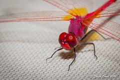 DRAGONFLY (Sonja Ooms) Tags: red dragonfly insect nature macro