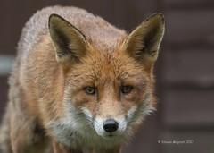 Urban Fox (Steven Mcgrath (Glesgastef)) Tags: urban red fox vulpes glasgow garden city north wild wildlife nature uk